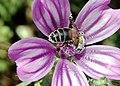 Bee on flower-1.jpg