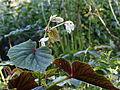 Begonia grandis `Claret Jug`.JPG