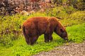 Bella Coola trip - brown Black bear munching spring grass (5892377155).jpg