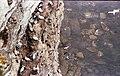 Bempton Cliffs - geograph.org.uk - 776559.jpg