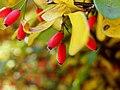 Berberis wilsoniae (5).jpg