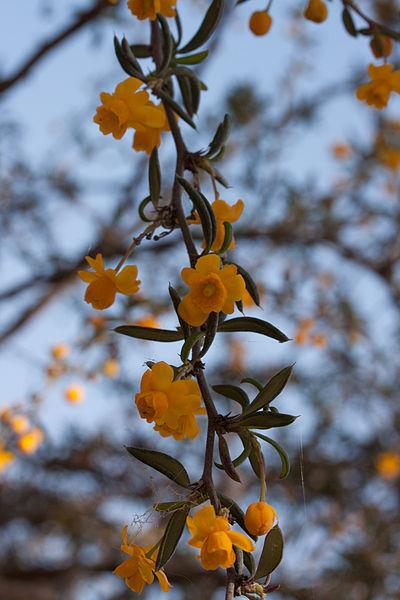 floraison pendante du Berberis