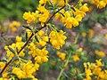 Berberis x stenophylla Berberys wąskolistny 2019-04-28 03.jpg