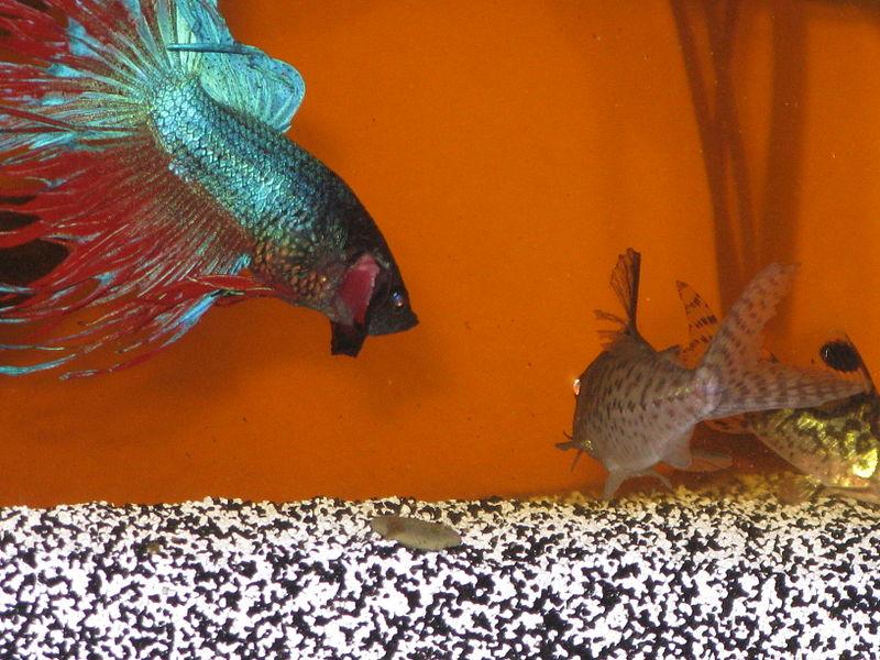 File:Betta Splendins with Corydoras.jpg