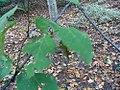 Betula maximowicziana 0zz.jpg
