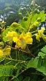 Biancaea sappan flowers.jpg