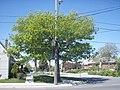 Big Green Tree (2510342752).jpg