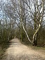 Birch-Lined Path - geograph.org.uk - 1222226.jpg