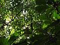Bird Great Hornbill Buceros bicornis IMG 8659 31.jpg