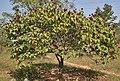 Bixa orellana with fruits in Hyderabad, AP W IMG 1456.jpg
