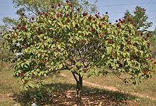 Bixa orellana with fruits in Hyderabad, AP W IMG 1456.jpg