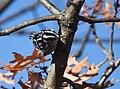 Black-and-white Warbler (documentation photos) (46346267161).jpg