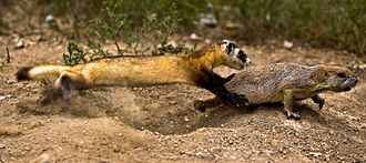 Black-footed ferret - Black-footed ferret chasing prairie dog.