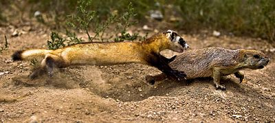 Black-footed Ferret Learning to Hunt.jpg