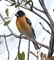 Black-headed Grosbeak (4542044116).jpg