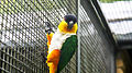 Black-headed parrot (Pionites melanocephalus) (1).jpg