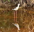Black-necked Stilt Sindh Pakistan.jpg