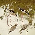 Black-necked Stilts in Celestún Estuary - Flickr - treegrow (2).jpg