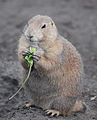 Black-tailed Prairie Dog (Cynomys ludovicianus) eating in Zoo Budapest 007.JPG