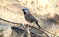 Black-throated Finch (Poephila cincta) (31293004362).jpg