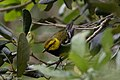 Black-throated Green Warbler (male) Sabine Woods TX 2018-04-21 10-16-24 (41253094214).jpg