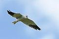 Black-winged (black-shouldered) kite, Elanus caeruleus, at Marievale, Gauteng, South Africa (45979034945).jpg