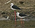 Black-winged Stilt (Himantopus himantopus) - Flickr - Lip Kee.jpg