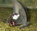 Black Butterfly with red.jpg