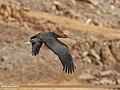 Black Stork (Ciconia nigra) (26338572289).jpg