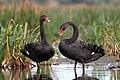 Black Swans (24940494764).jpg