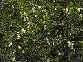 Black locust, Robinia pseudoacacia (31862783052).jpg