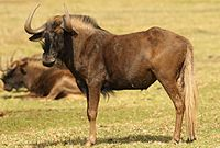 Black wildebeest, or white-tailed gnu, Connochaetes gnou at Krugersdorp Game Reserve, Gauteng, South Africa (27382911492).jpg