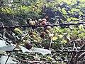 Blackberries and barbed wire.jpg