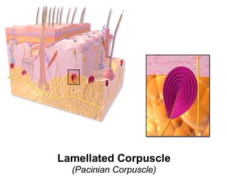 Sensory neuron - Image: Blausen 0804 Skin Lamellated Corpuscle