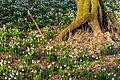Bledule jarní v PR Králova zahrada 35.jpg