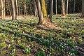 Bledule jarní v PR Králova zahrada 37.jpg