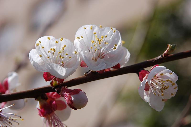 بستان ورد المصــــــــراوية - صفحة 96 800px-Blossoming_almond_tree