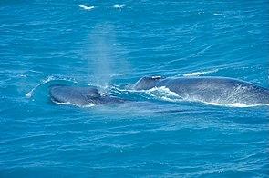 Blauwalmutter mit Kalb