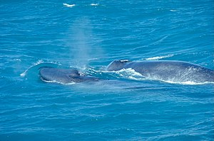 A juvenile Blue Whale with its mother