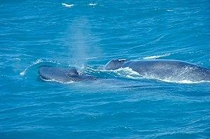 Blue Whale with Calf, Ólafsvík, Iceland