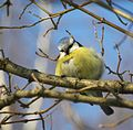 Blue Tit (Parus caeruleus) 2.jpg