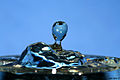 Blue drop 1 (2064597018).jpg