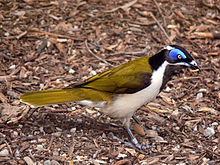 A medium-sized songbird with a prominent blue eye-patch stands on the ground with some sort of grub in its beak.