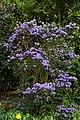 Blue species Rhododendron at RHS Garden Hyde Hall, Essex, England 02.jpg