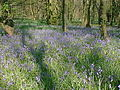 Bluebells in Tupton Wood - geograph.org.uk - 298594.jpg