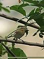 Blunt-winged Warbler (Acrocephalus concinens) (15283413553).jpg