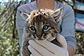Bobcat Kittens B-340 and B-341 (27403653935).jpg