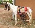 Bobodi horse.jpg