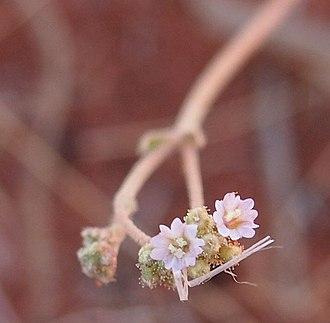 Los Mochis - Mochi (Boerhavia coccinea) plant for which Los Mochis was named