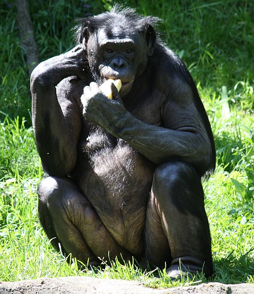 File:Bonobo1 CincinnatiZoo.jpg